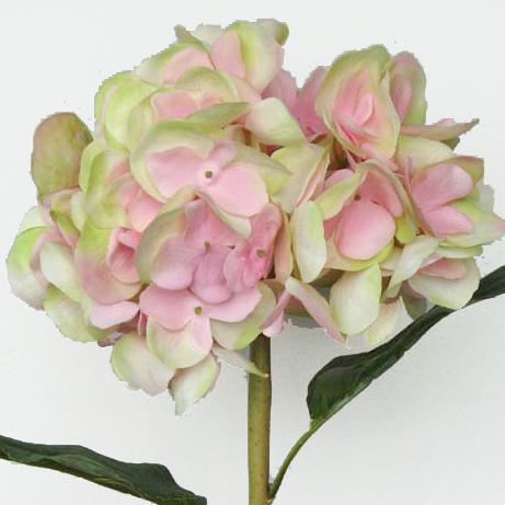 Hydrangea w big petals color mightylinksfo